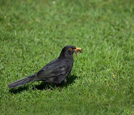 Blackbird with worms photo