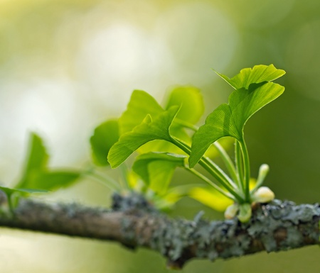 national fruit of china: Ginkgo Biloba leaves Stock Photo