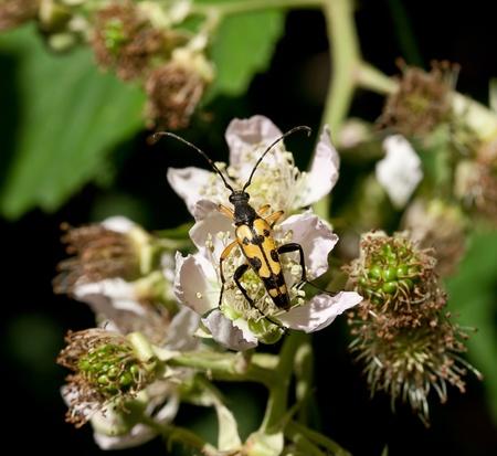 longhorn beetle: Longhorn Beetle on Bramble