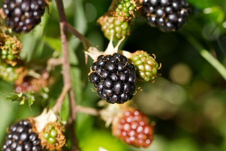 hedgerow: Blackberries Stock Photo