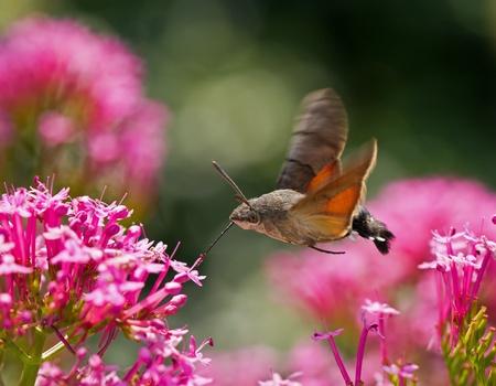 hovering: Hummingbird Hawk-moth