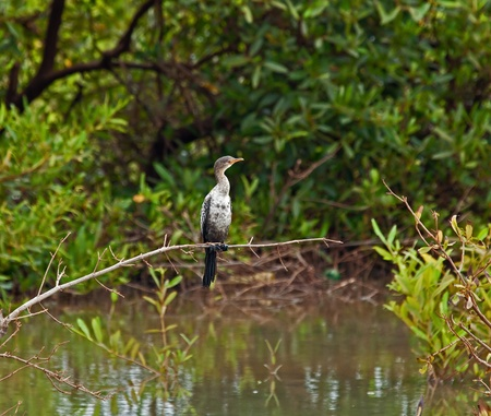 Long-tailed Cormorant Stock Photo