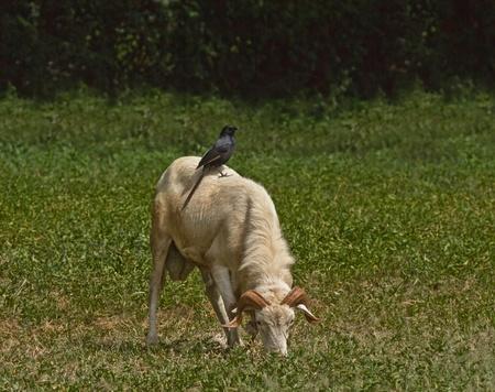 mutualism:  Piapiac on Ram