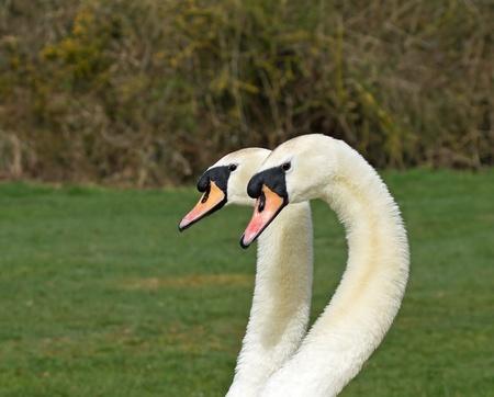 head shots: Two adult Mute Swans side by side, head shots