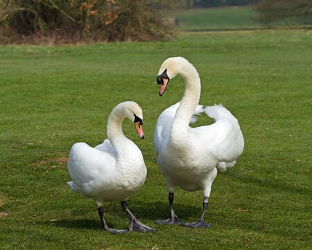 Mated pair of Mute Swans during courtship display Stock Photo - 12975745
