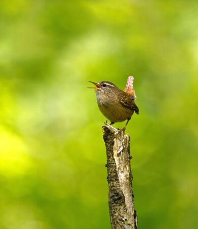 Adult male Winter Wren singing in English woodland