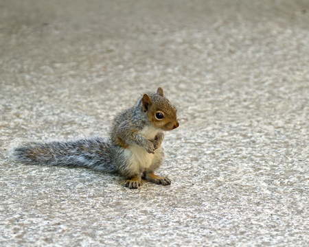 splayed: Cute Baby Grey Squirrel sitting on haunches, front paws together and back paws splayed.