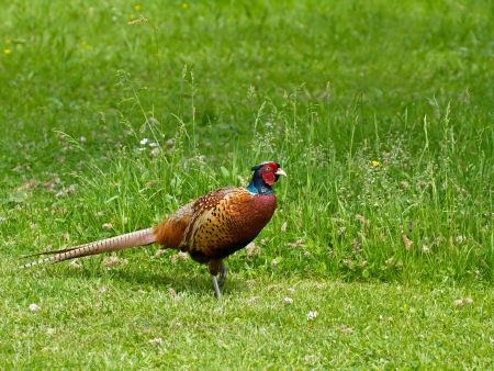 Cock Common Pheasant showing beautiful coloured  plumage and red eye wattle Stock Photo - 14154871