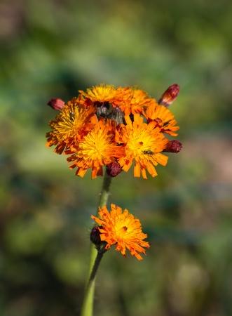 hawkweed: Deep orange Hawkweed wild flower known as Fox and Cubs