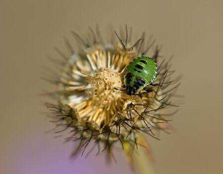 green shield bug: Green Shield Bug nymph on Devils Bit Scabious wild flower