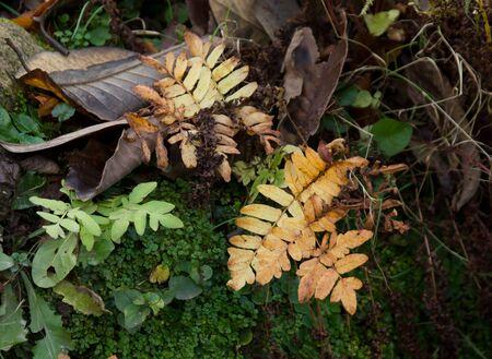 autumn colour: Autumn leaves changing colour