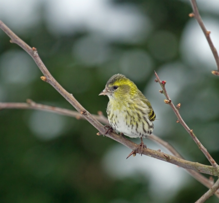 Small bird finch European Siskin female in Hawthorn