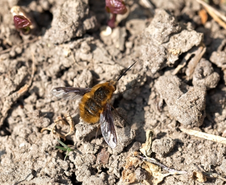 Common or Dark-bordered Bee-fly resting on ground Stock Photo