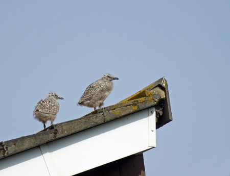 larus: Pair of young Herring Gull chicks on roof, not yet fledged.