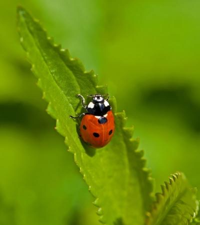 septempunctata: Macro image of Seven-spot Ladybird or Ladybug