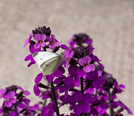 wallflower: Small White Butterfly on Wallflower Stock Photo