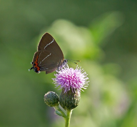 nectaring: Uncommon White-letter Hairstreak butterfly nectaring on thistle.