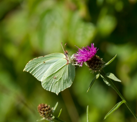nectaring: Brimstone Butterfly nectaring on Knapweed Stock Photo