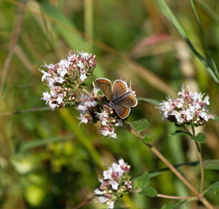 nectaring: Brown Argus Butterfly nectaring on flower