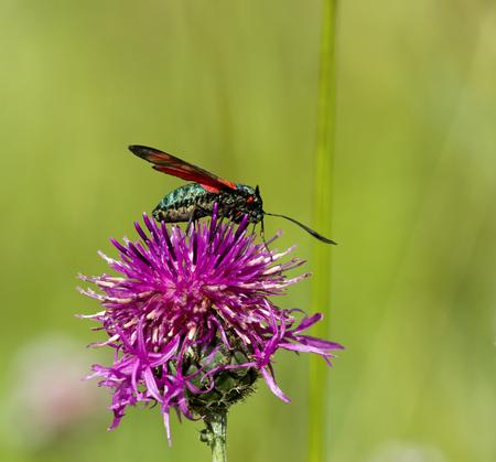 nectaring: Six-spot Burnet Moth nectaring on Knapweed
