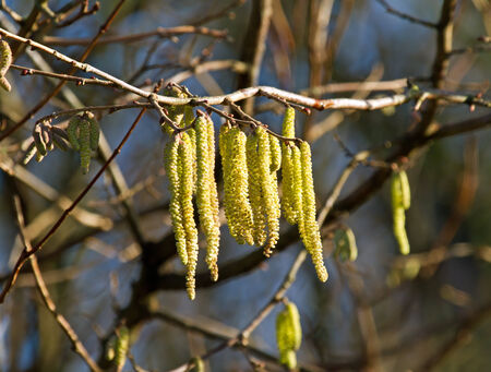 hazel branches: Catkins in Bloom