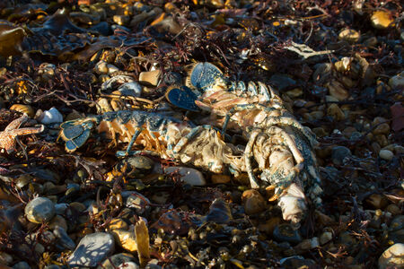 spring tide: Lobsters washed up on beach during high Spring tide