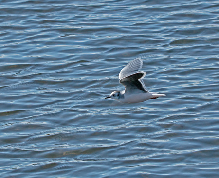 underwing: Adult Little Gull in winter plumage, showing slight pink blush.