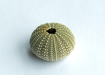 Sea Urchin shell, showing intricate pattern details photo