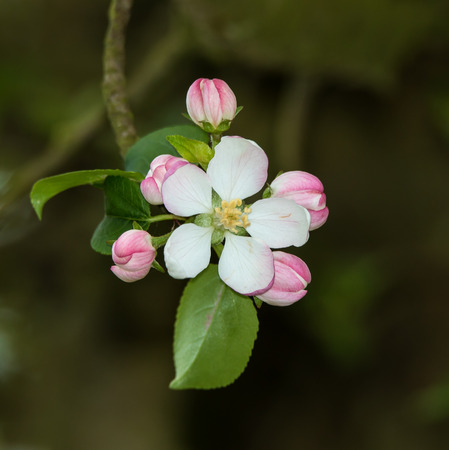 kwiat jabłoni: Pink and white Apple blossom in Springtime