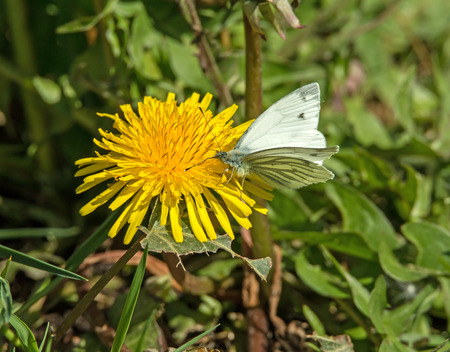 Green-veined White Butterfly nectaring on Dandelion photo