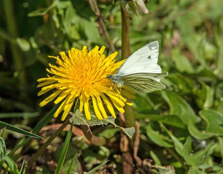 nectaring: Green-veined White Butterfly nectaring on Dandelion Stock Photo
