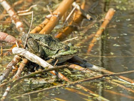 ridibundus: Marsh Frog resting on reeds in water
