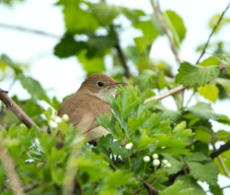 concealed: Nightingale partly concealed in tree Stock Photo