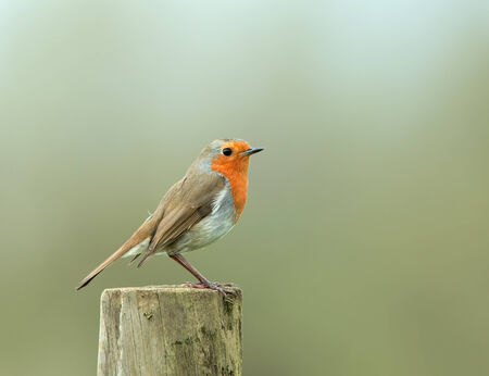 redbreast: Perky adult European Robin on fence post Stock Photo