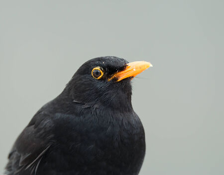 Adult male Blackbird covered in crumbs photo