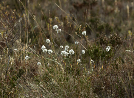 moorland: Cotton Grass on Scottish moorland