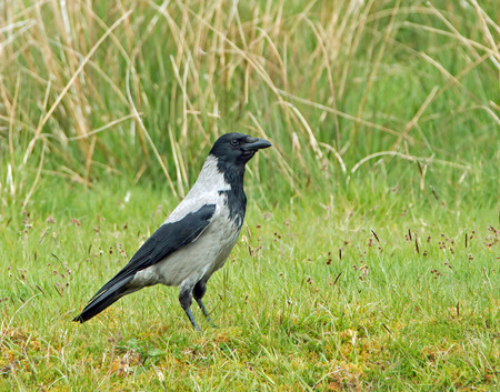 black plumage: Adult Hooded Crow showing pale grey and black plumage,
