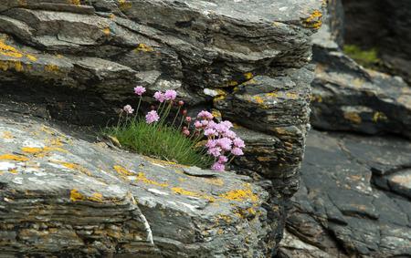Pink Sea Thrift grwoing on shoreline rocks on The Isle of Skye photo