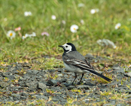 Adult White Wagtail in sunlight. photo