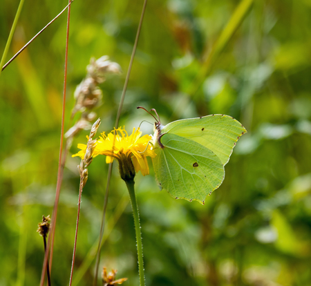 underwing: Brimstone Butterfly nectaring on flower, showing underwing.