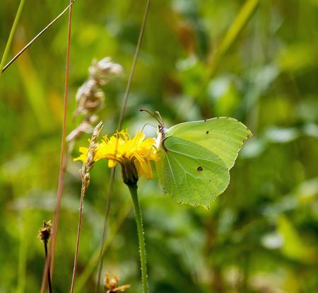 gonepteryx: Brimstone Butterfly nectaring on flower, showing underwing.