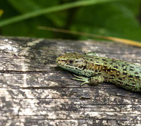 viviparous: Close-up of Common Lizard, showing scales and claws details. Stock Photo