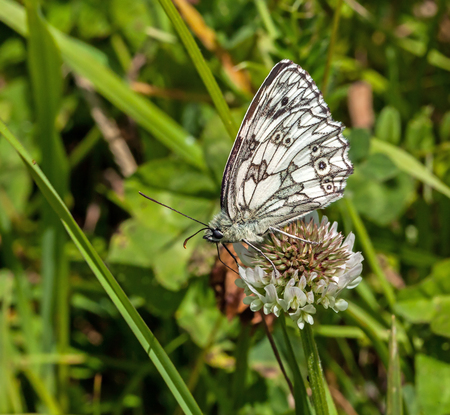 nectaring: Marbled White Butterfly nectaring on Clover, showing underwing.