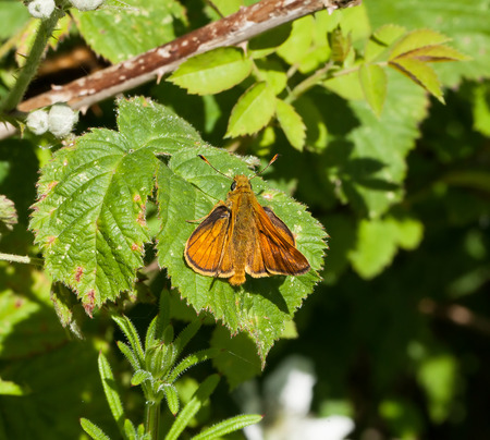 ochlodes: Large Skipper butterfly on bramble leaf