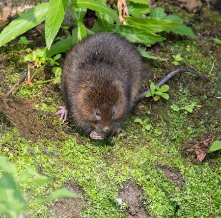 vole: Water Vole on riverbank, eating Stock Photo