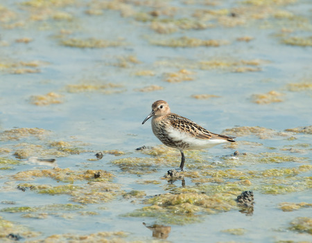 wading: Small wading or shorebird Dunlin