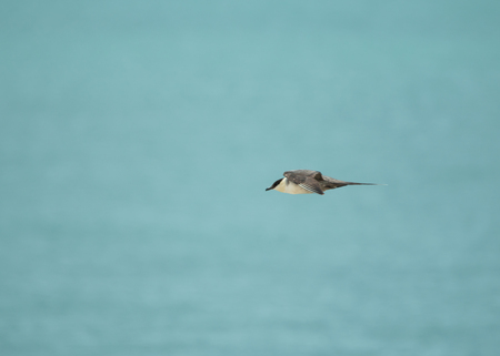 selsey: Fourth summer Long-tailed Skua in Flight