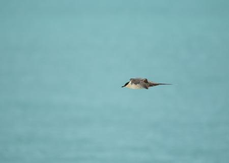 Fourth summer Long-tailed Skua in Flight