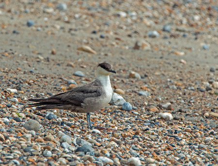 selsey: Fourth summer Long-tailed Skua on seashore