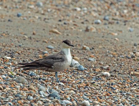 Fourth summer Long-tailed Skua on seashore